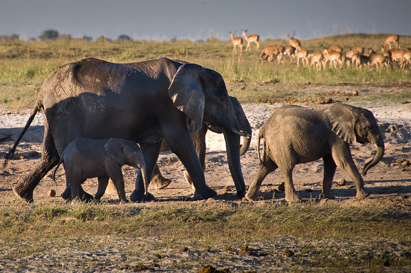 Abundant wildlife (Chobe National Park, Botswana)